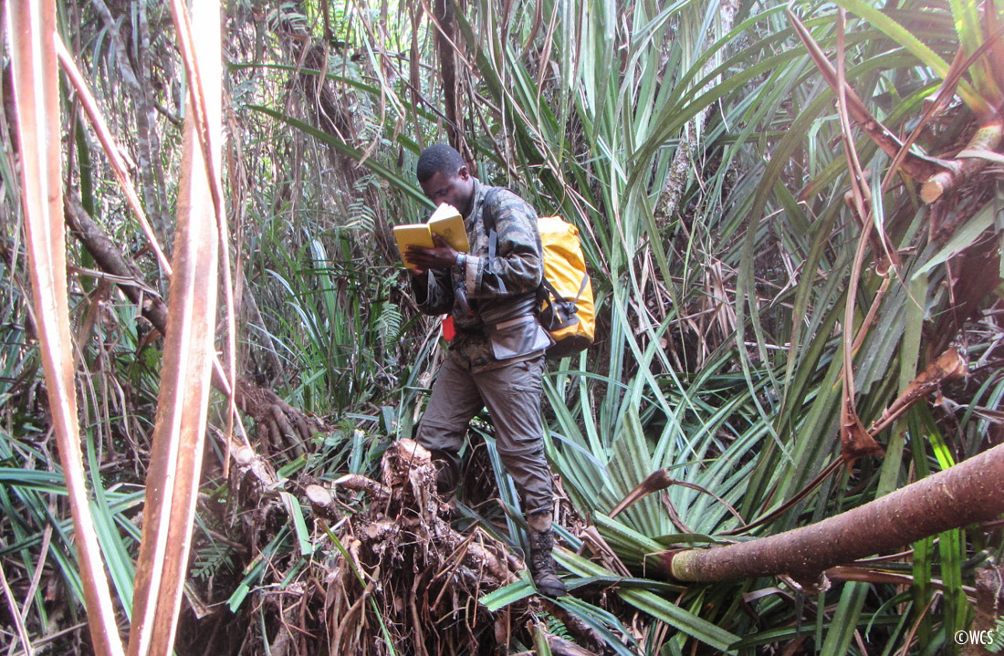 Ndoki-Likouala Large Mammal Survey team member records data in a dense patch of forest.